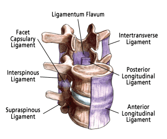 Ligaments of the spine.
